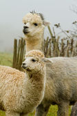 Alpaca mother and baby-4 — Stock Photo