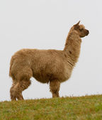 Brown Alpaca on the hillside-2 — Stock Photo