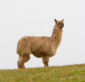 Brown Alpaca on the hillside — Stock Photo