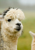 White Alpaca with grey hair! — Stock Photo