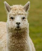 Witte alpaca-2 — Stockfoto