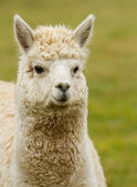 White Alpaca — Stock Photo