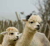 Alpaca mother and baby-3 — Stock Photo
