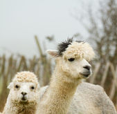 Alpaca mother and baby-2 — Stock Photo