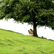Stock Photo: Lambs sheltering under tree