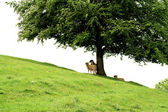 Lambs sheltering under a tree — Stockfoto