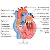 Vector Heart Anatomy — Vettoriale Stock