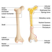 Vector Bone Anatomy — Stok Vektör