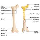 Vector Bone Anatomy — Stock Vector