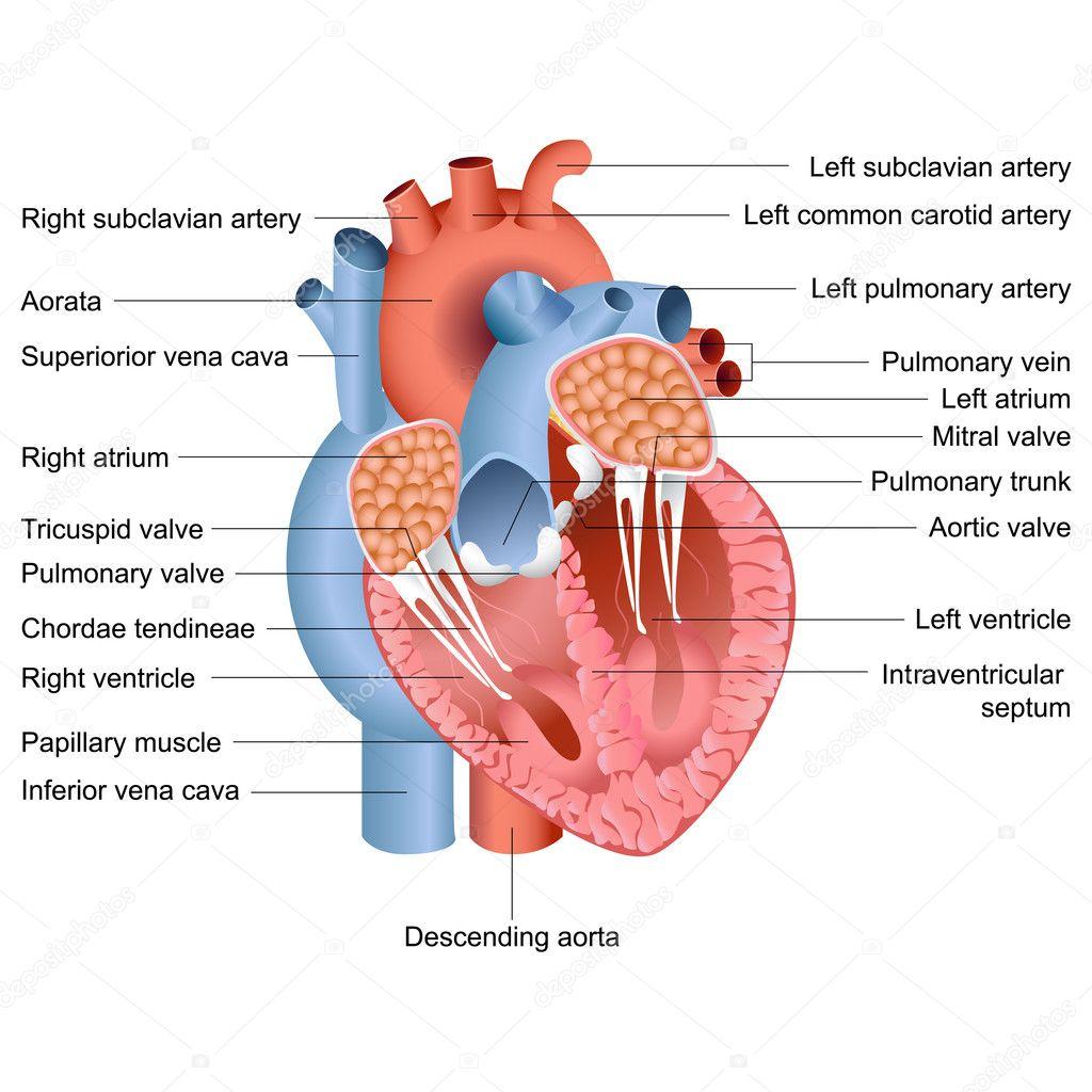 Анатомическое сердце картинки 13