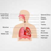 Système respiratoire — Vecteur