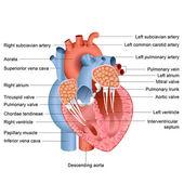 Heart Anatomy — Stock Vector