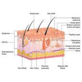 Anatomie des cheveux — Vecteur