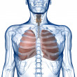 Lungs in the Rib_Cage Front View — Stock Photo