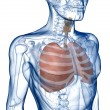 Lungs in the Rib_Cage Three_Quarter View — Stock Photo
