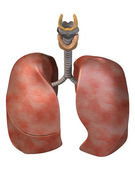 Lungs Top Three_Quarter View — Stock Photo
