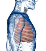 Lungs in the Rib_Cage Side View — Stock Photo