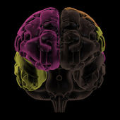 Coloured areas of the Brain, front view — Stock Photo
