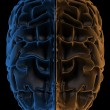 Stock Photo: Hemispheres of brain top view