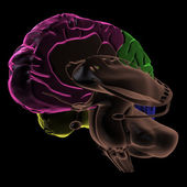 Coloured areas of the Brain, three-quarter view — Stock Photo