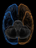 Hemispheres of the brain bottom view — Stock Photo