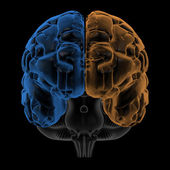 Hemispheres of the brain front view — Stock Photo