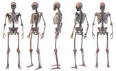 Skeleton, five views — Stock Photo