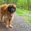 Leonberger dog - Stock Photo