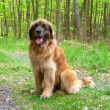 Leonberger dog — Stock Photo #9173784