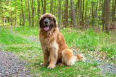 Leonberger dog — Stock Photo