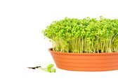 Watercress growing in a pot — Stock Photo