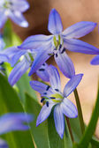 Close-up of squill (scilla sibirica) — Stock Photo