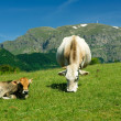 Cow and calf in high mountains — Stock Photo