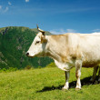 White cow in high mountains — Stock Photo