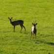 Stock Photo: Roe deers