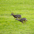 Roe deers running — Stock Photo