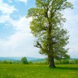Stock Photo: Big old tree