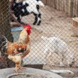 Rooster and other domestic animals — Stock Photo