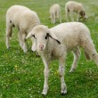Lambs on green meadow — ストック写真