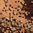 Royalty-Free Stock Photo: Honey bee workers on honeycomb