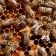 Honey bee workers close-up — 图库照片 #9149073
