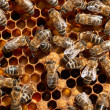 Honey bee workers close-up — Stock Photo
