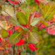 Autumn leafs of sumac — Stock Photo