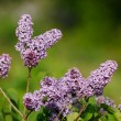 Lilac blossoms — Stock Photo #9149343
