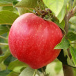 Juicy red apple — Foto de stock #9149492