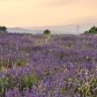 Lavender plantation in French Provence — Foto Stock