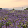 Lavender plantation in French Provence — 图库照片
