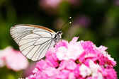 Butterfly on a red flower — Stock Photo