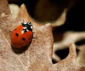 Close-up of a red lady-bird — Stock Photo