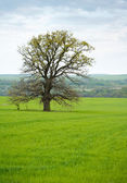 Old lonely oak tree — Stok fotoğraf